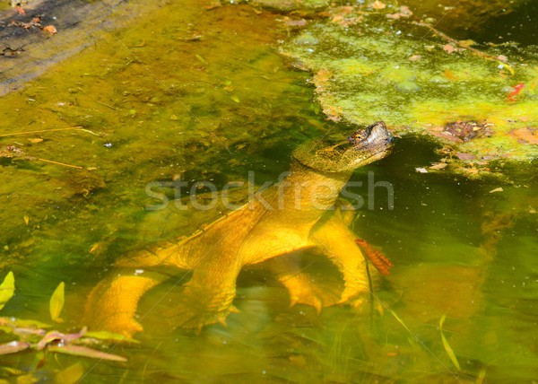 Snapping Turtle Stock photo © brm1949
