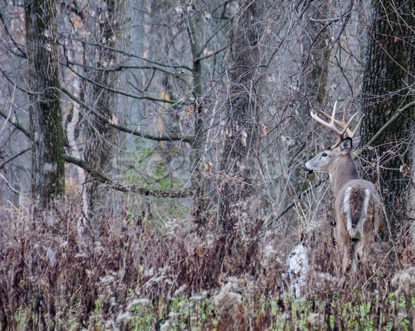 Herten reebok permanente veld natuur trofee Stockfoto © brm1949