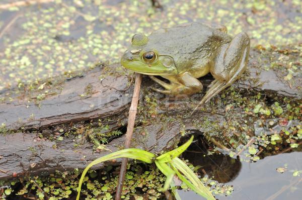 Bataklık açık havada yaban hayatı fauna amfibi Stok fotoğraf © brm1949