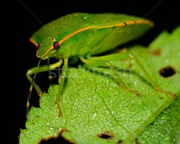 Stink Bug Stock photo © brm1949