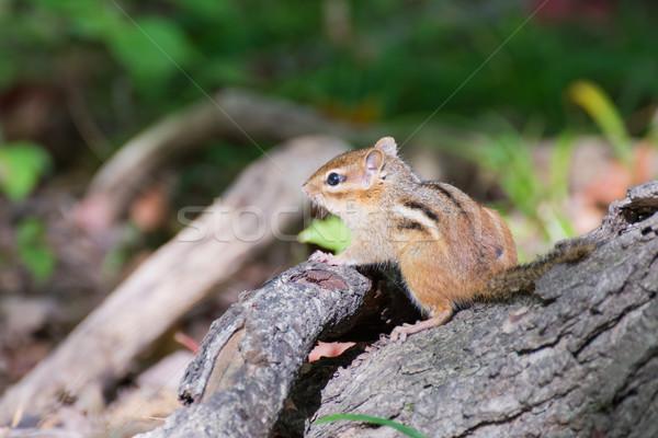 Chipmunk árvore animal animais selvagens pequeno Foto stock © brm1949