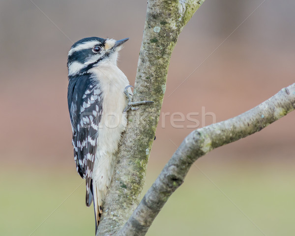 Downy Woodpecker Stock photo © brm1949
