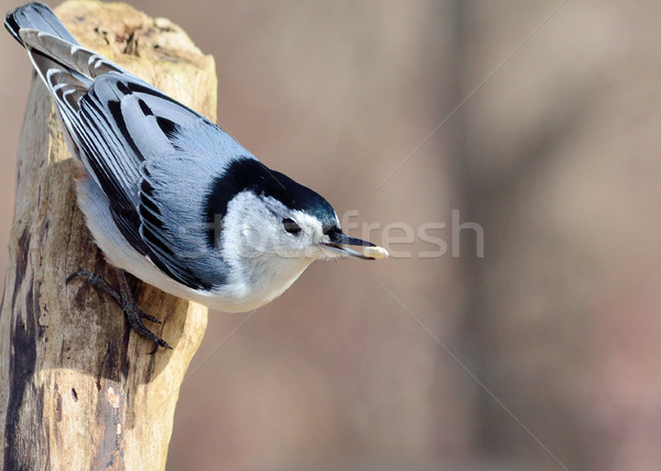 White-breasted Nuthatch Stock photo © brm1949
