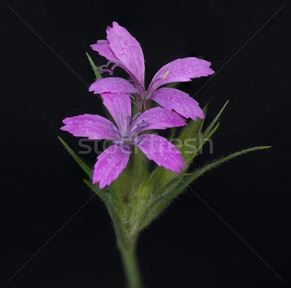 Purple диких цветов макроса области весны Сток-фото © brm1949