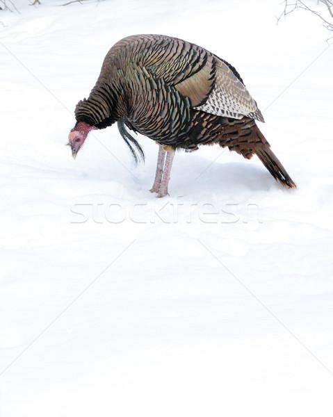 Turquia masculino em pé inverno neve Foto stock © brm1949