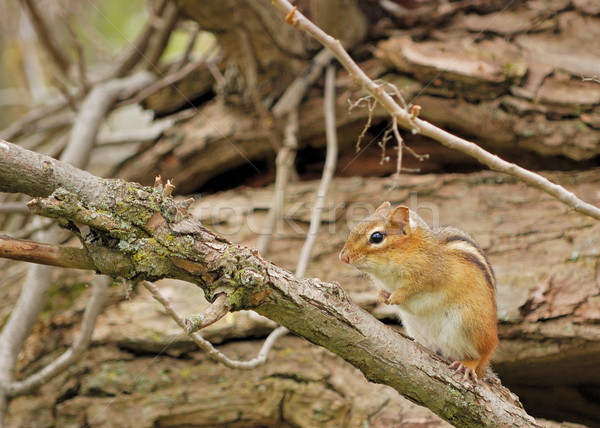 Chipmunk oriental natureza mata animais selvagens mamífero Foto stock © brm1949