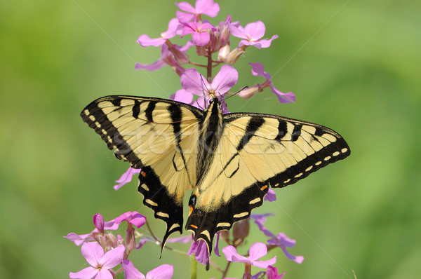 Eastern Tiger Swallowtail (Papilio glaucus) Stock photo © brm1949