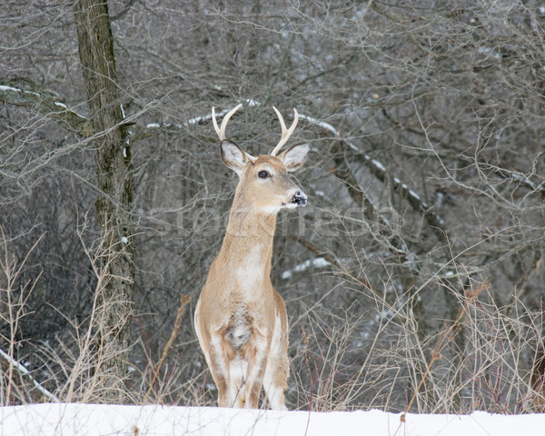 Stock photo: Piebald Whitetail Deer Buck