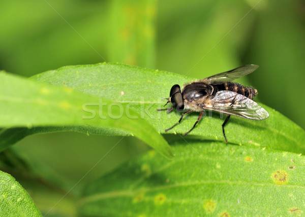 Horse Fly Stock photo © brm1949