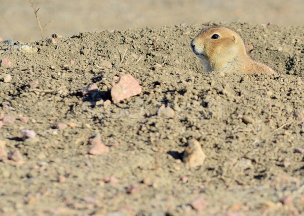 Black-Tailed Prairie Dog  Stock photo © brm1949