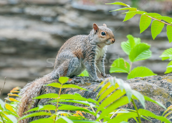 Szary wiewiórki lasu charakter zwierząt Zdjęcia stock © brm1949