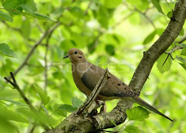 Gyász galamb faág madár Stock fotó © brm1949