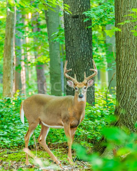 Herten reebok fluwelen permanente bos bos Stockfoto © brm1949