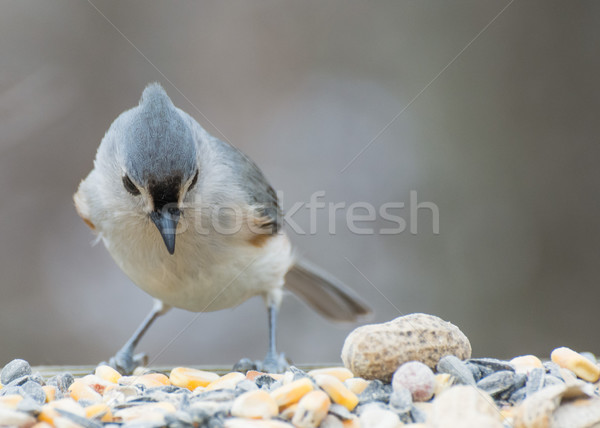 Tufted Titmouse Perched Stock photo © brm1949
