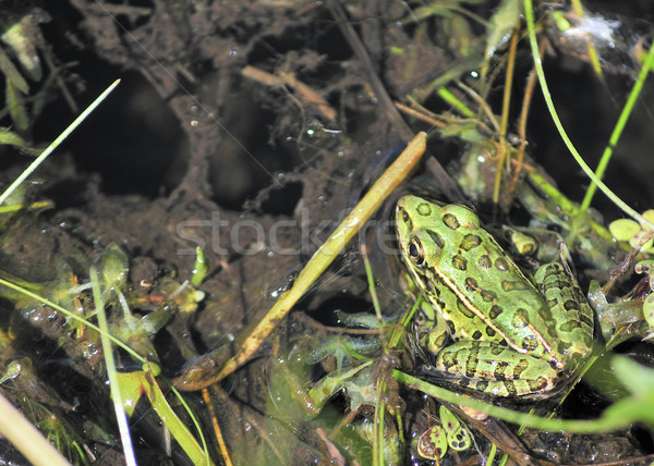 Leopard Frog Stock photo © brm1949