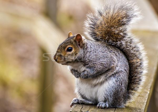 Szürke mókus szürke állat erdő aranyos Stock fotó © brm1949