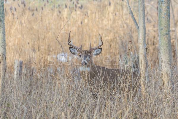 оленей доллар Постоянный лесу животного трофей Сток-фото © brm1949