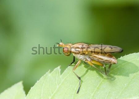 Stock photo: Marsh Fly (Tetanocera)