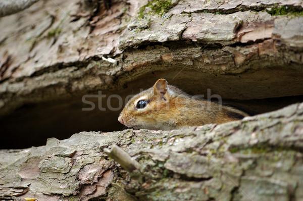 Chipmunk oriental dentro natureza mata animais selvagens Foto stock © brm1949
