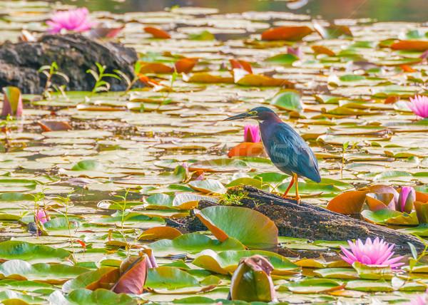 Little Green Heron Stock photo © brm1949