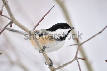 Tufted Titmouse (Parus bicolor) Stock photo © brm1949