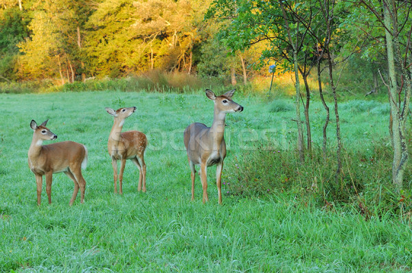 Whitetail Deer Doe With Fawns Stock photo © brm1949