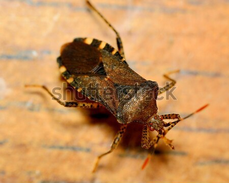 Stink bug Stock photo © brm1949