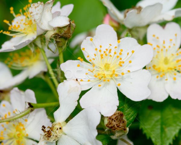 ラズベリー 桜 マクロ クローズアップ 春 成長 ストックフォト © brm1949