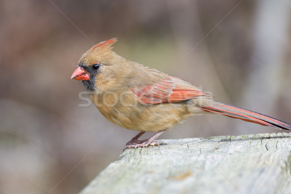 Female Cardinal Perched Stock photo © brm1949