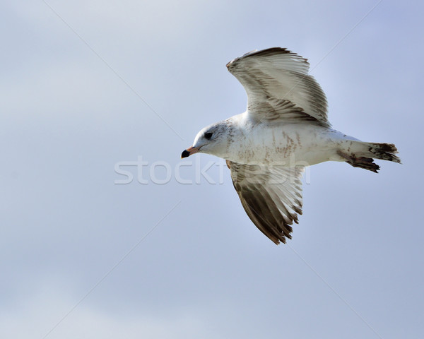 Ring-billed Seagull Stock photo © brm1949