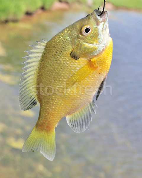 Sunfish On A Hook Stock photo © brm1949