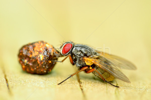 Fly On A Dung Ball Stock photo © brm1949