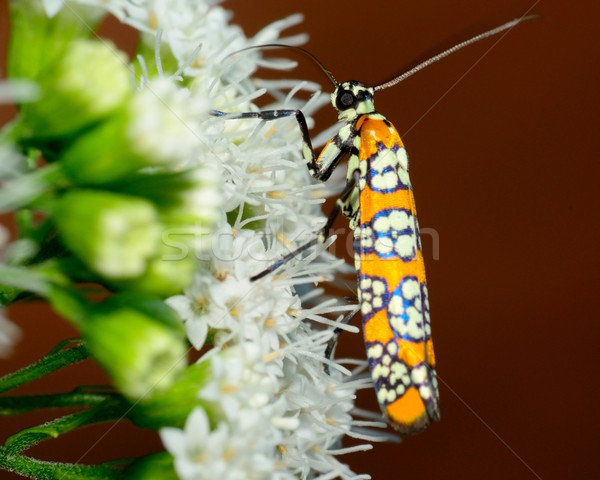 Ailanthus Webworm Moth Stock photo © brm1949