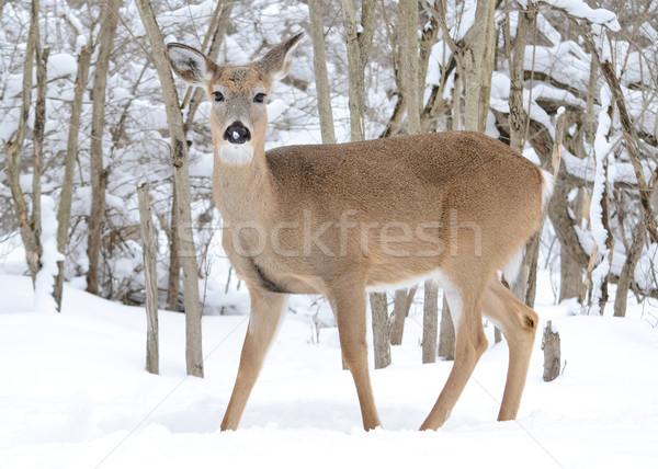Whitetail Deer Doe Stock photo © brm1949