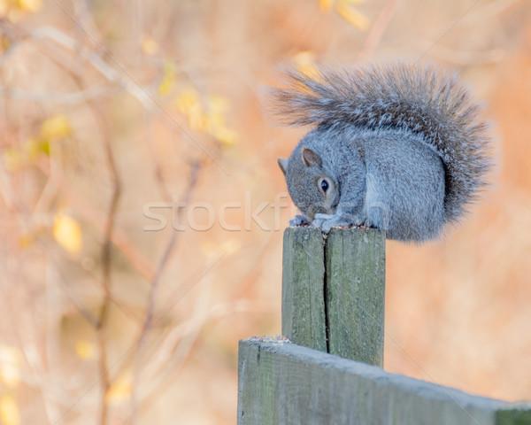 Gri sincap gri ahşap gönderemezsiniz orman Stok fotoğraf © brm1949