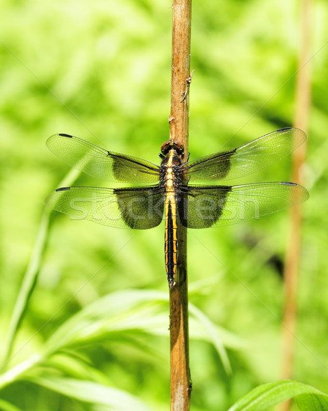 Widow Skimmer Dragonfly Stock photo © brm1949