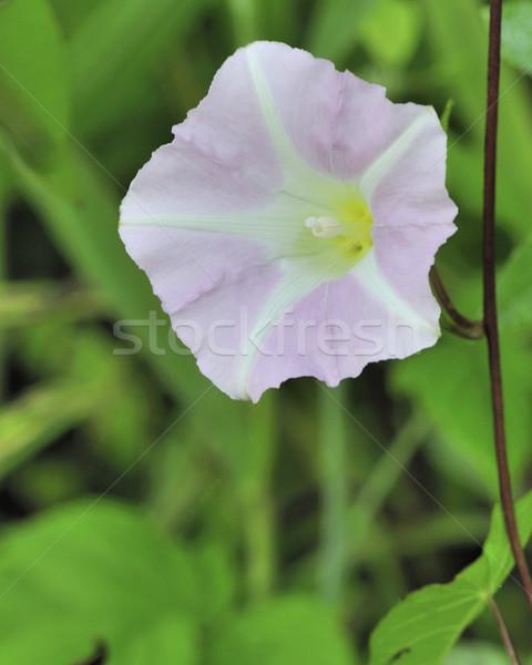 Sabah şan çiçeklenme orman Stok fotoğraf © brm1949