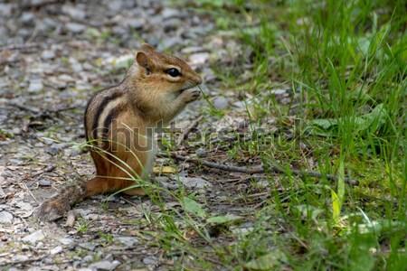 Chipmunk oriental alimentação amendoim pedra caminho Foto stock © brm1949