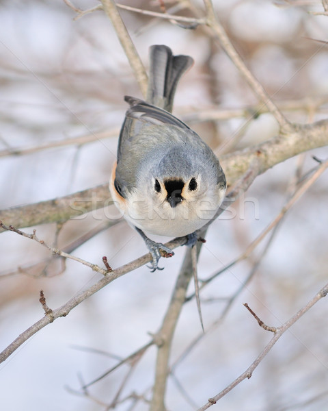 Tufted Titmouse Stock photo © brm1949