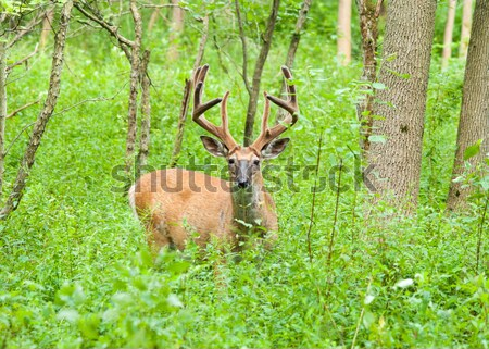 Cerfs buck velours permanent bois forêt Photo stock © brm1949