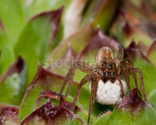 Wolf Spider With Egg Sack Stock photo © brm1949