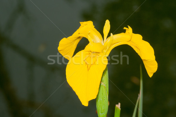 Amarillo iris flor Foto stock © brm1949
