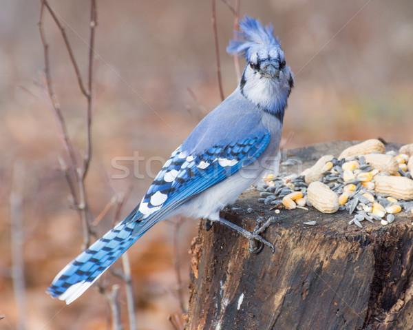 Azul árvore pássaro semente amendoins natureza Foto stock © brm1949