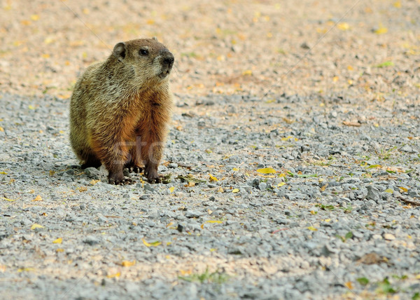Groundhog Stock photo © brm1949