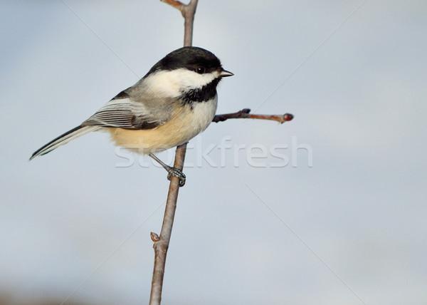 Stok fotoğraf: Doğa · kuş · hayvan · baştankara · açık · havada