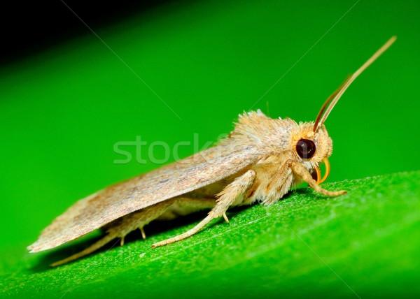 Moth Stock photo © brm1949