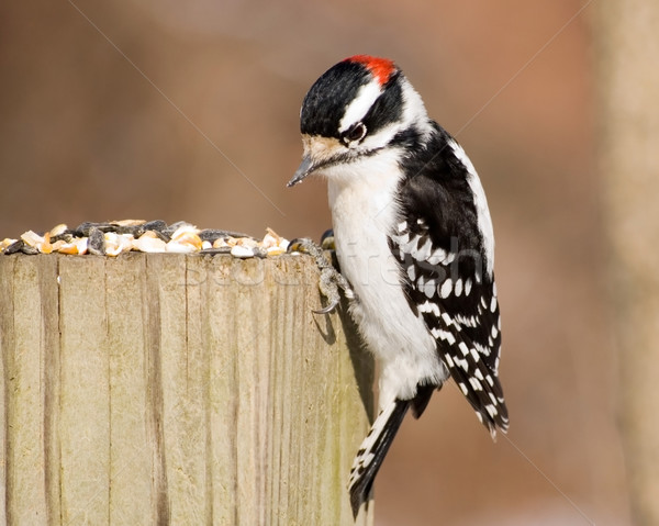 Male Downy Woodpecker Stock photo © brm1949