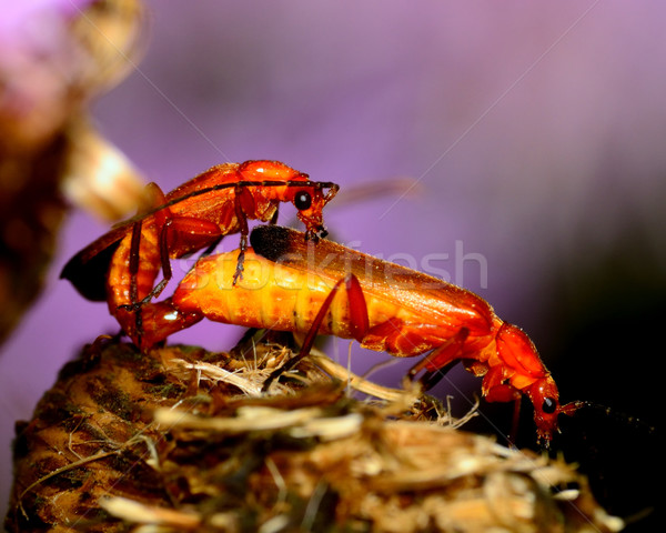 Soldier Beetle Stock photo © brm1949