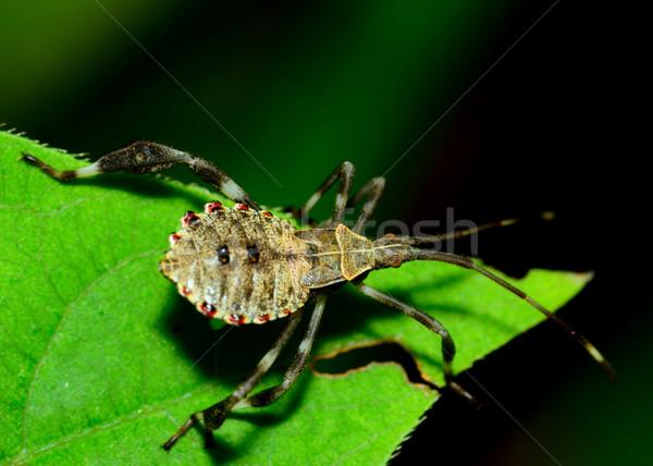 Assassino bicho verde planta folha inseto Foto stock © brm1949