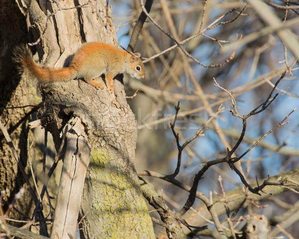 красный белку животного Сток-фото © brm1949